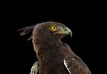 Brad Wilson: Crested Eagle #1, St. Louis, MO, 2012