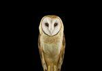 Brad Wilson: Barn Owl #1, St. Louis, MO, 2012