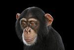 Brad Wilson: Chimpanzee #12, Los Angeles, CA, 2010