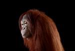 Brad Wilson: Orangutan #6, Los Angeles, CA, 2011