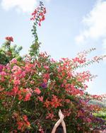 Cig Harvey:  Bougainvillea, Bequia, 2018