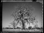 Elaine Ling: Baobab, Tree of Generations #3
