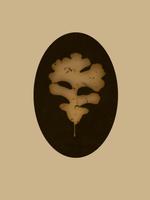Kate Breakey: Oak Leaf
