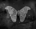 Keith Carter: Blue Atlas Moth, 2012