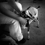 Meg Birnbaum: Dwarf Goat, 2007
