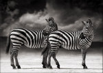 Nick Brandt: Portrait of Two Zebras Turning Heads, Ngorongoro Crater, 2005