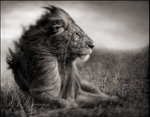 Nick Brandt: Lion Before Storm II - Sitting Profile, Maasai Mara, 2006