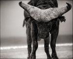 Nick Brandt: Buffalo with Lowered Head, Amboseli, 2007