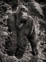 Nick Brandt: Gorilla on Rock, Parc des Volcans 2008