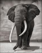 Nick Brandt: Portrait of Elephant on Bare Earth, Amboseli 2011