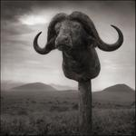 Nick Brandt: Buffalo Trophy, Chyulu Hills, Kenya, 2012