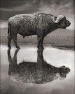 Nick Brandt: Buffalo in Lake, Lake Nakuru, 2011