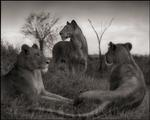 Nick Brandt: Lion Circle, Serengeti, 2012