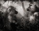 Nick Brandt: Baboons in Profile, Amboseli, 2007