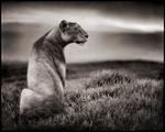 Nick Brandt: Crater Lioness, Ngorongoro Crater, 2000