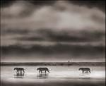 Nick Brandt: 3 Lions Crossing Lake, Ngorongoro Crater, 2000