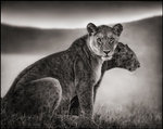 Nick Brandt: Sitting Lionesses I, Serengeti, 2002
