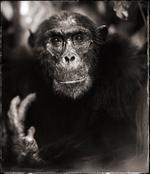 Nick Brandt: Portrait of old Chimpanzee II, Mahale, 2003