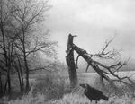 Raymond Meeks: Crow, fractured tree  , 2003
